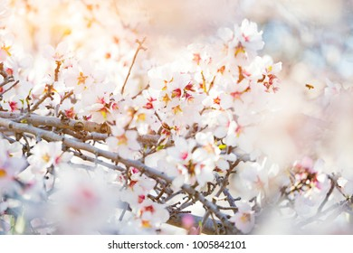 Branch With Beautiful White blossoming flowers, Spring blossoming garden. Shallow Focus