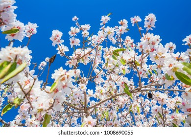 Branch With Beautiful White blossoming flowers, Spring blossoming garden.