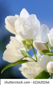 A branch of beautiful white jasmine flowers against a bright blue sky