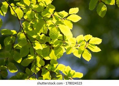 Branch of a beech tree with leaves in spring on a sunny day