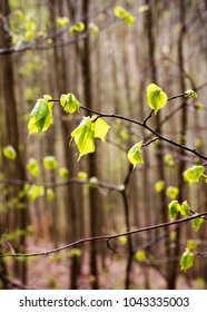 Branch of beech tree with new leaves in the spring forest.