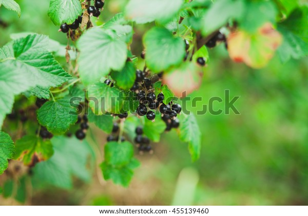 Branch with berries of black currant bush with ripe black currants in summer