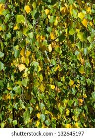 branch of birch background autumn