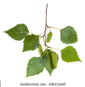 branch of birch tree (Betula pendula, silver birch ,warty birch, European white birch) with green leaves and catkins isolated on white background