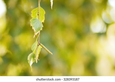 branch of a birch tree with green leaves