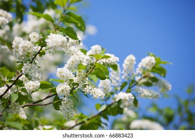 branch of bird cherry in front of  blue sky. Copy space