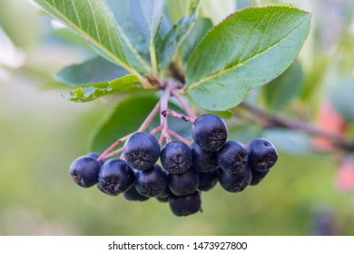 Branch of Black Chokeberry (Aronia Melanocarpa), fresh aronia berries with leaves.