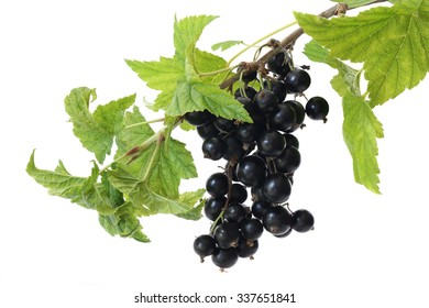 Branch of black currant isolated on a white background