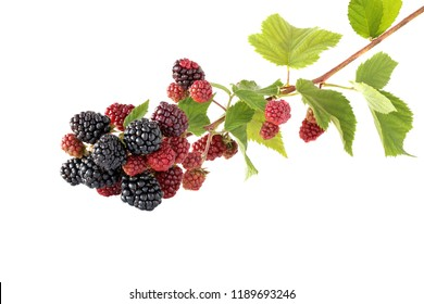 Branch blackberries isolated on white background