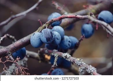 branch with ble sloes