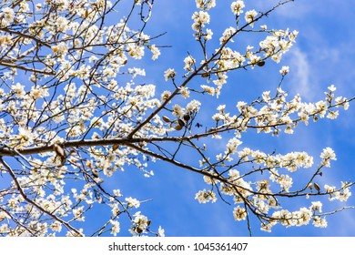 branch of blooming almond against blue sky
