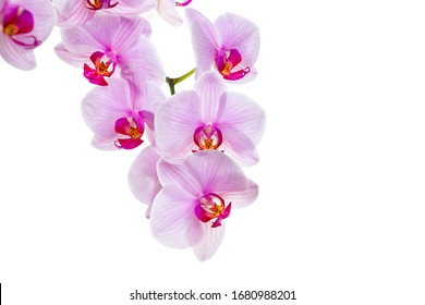 branch with blooming beautiful pink orchid flower closeup isolated on white background