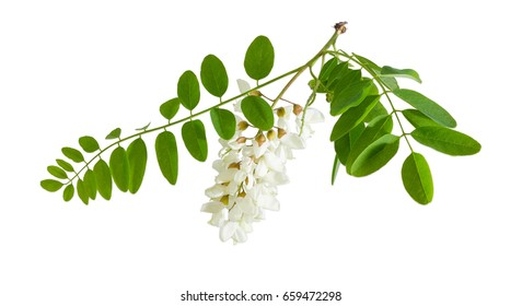 Branch of the blooming black locust tree with leaves and flower cluster on a light background