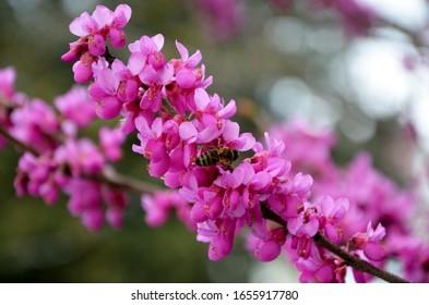 Abeliophyllum Distichum Roseum Images Stock Photos Vectors