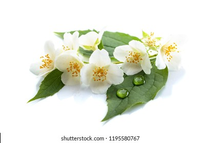 Branch of blooming jasmine with water drops on a leaves. Isolated on white background.