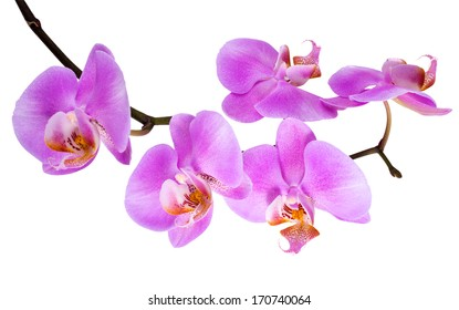 branch blooming lilac orchid  is  isolated on white  background