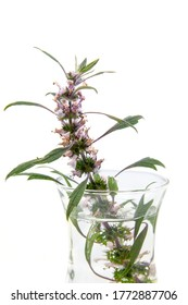 A branch of blooming motherwort (leonurus cardiaca) herb on a white background