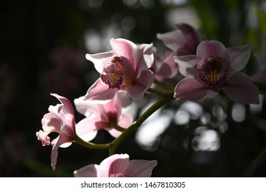 A branch of blooming pink cymbidium (orchid) in a greenhouse in Moscow in winter
