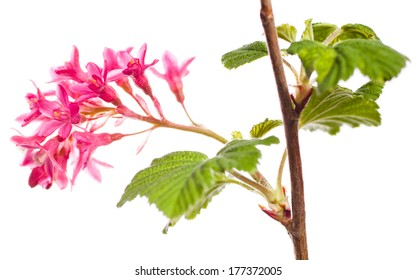 A branch of blooming red currant isolated on white background