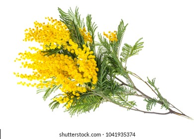 Branch of blooming yellow Acacia dealbata, isolated on white background. Studio Photo