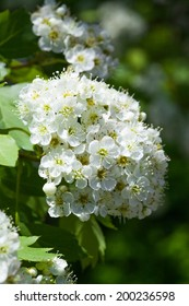 Branch and blossom of bird cherry (Prunus padus). Closeup. bird cherry tree branch with flowers .