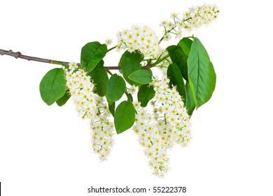 Branch and blossom of bird cherry (Prunus padus). Closeup on white.