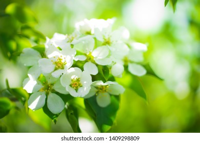 Branch of a blossoming apple tree in white flowers against the sky