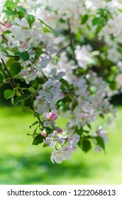 Branch of blossoming apple-tree, close-up