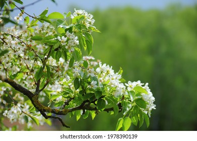 A branch of a blossoming bird cherry with little white flowers and green leaves at  the background of spring foliage. Beautiful nature image, Razvilka village, Moscow region, Russia, East Europe