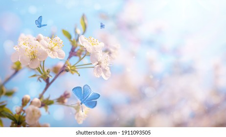 Branch of blossoming cherry on blue sky background, fluttering blue butterflies in spring on nature outdoors. Amazing colorful dreamy romantic artistic image spring nature, copy space. Soft focus.