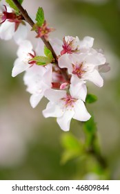 Branch of the blossoming cherry tree with selective focus on some flowers