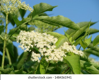 Branch of blossoming elder Sambucus flowers against sky. Nature background. Elderberry bush