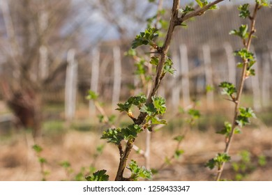 branch blossoming leaves goosebumps in early spring