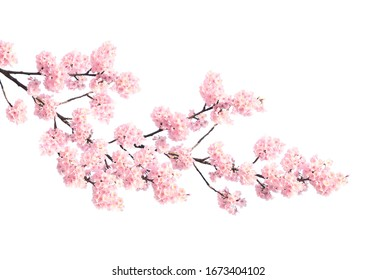 Branch of the blossoming sakura with pink flowers, Japan. Isolated on white background - Shutterstock ID 1673404102