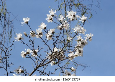 branch of a blossoming tree, magnolia stellata, star magnolia