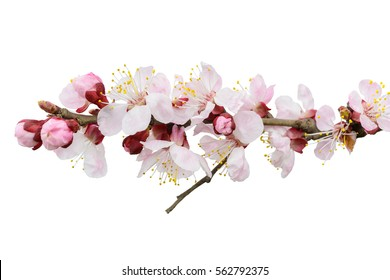 Branch of blossoming tree with pink flowers. Spring flowering. Isolated, white background.