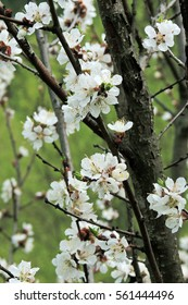 Branch with blossoms of apricot in spring