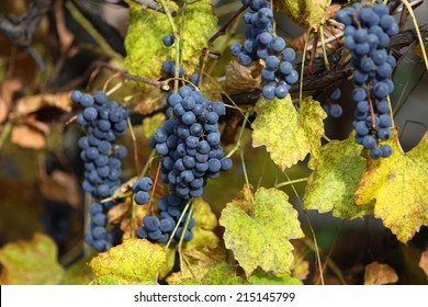 Branch of blue grapes on old vine at autumn day.