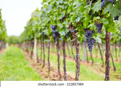 Branch of blue grapes on vine in vineyard
