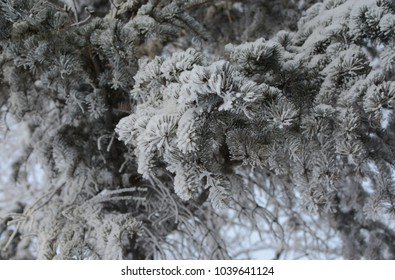 A branch of blue spruce in winter frost.