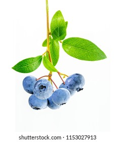 Branch of blueberries with leaves. Blueberry plant isolated on white background.