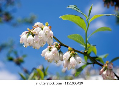 A branch of blueberry flowers with leaves under blue sky