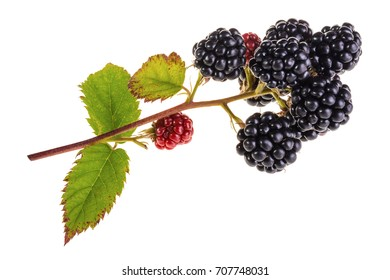 Branch of bramble isolated on white background. Bunch of beautiful ripe blackberries with green leaves.
