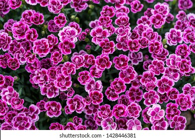branch of bright pink dianthus pink kisses flower