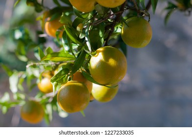 A branch with bright tangerines among green foliage