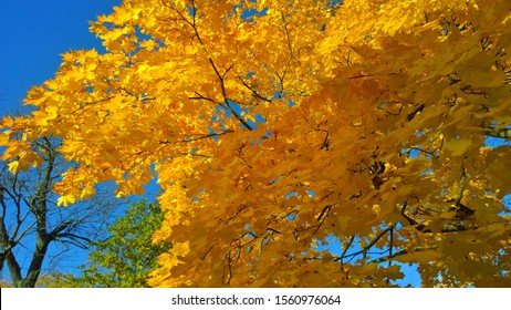 Branch with bright yellow and orange maple leaves against blue sky. View from below. Autumn background. Fall landscape in the city park. Beauty of life on Earth. Protect and love nature and the world.
