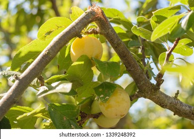 branch broken by the weight of the plums in a plum tree of the orchard