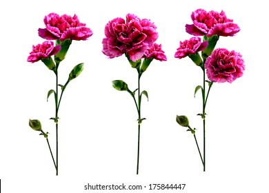 branch carnation flowers on white background