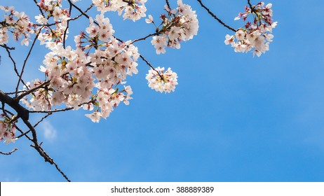 Branch of cherry blossom tree with clear blue sky