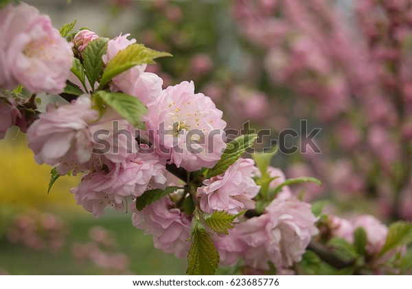 A branch of cherry blossoms lined with lush flowers on a blurred background of tree blossoming; spring mood